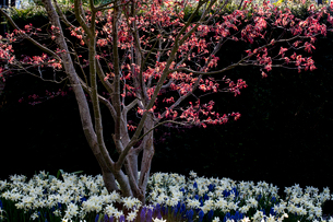 Close up of tree with red foliage in a bed of white narcissus and  blue grape hyacinths.の写真素材 [FYI02266378]