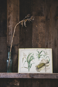 Close up of vintage illustration of maize and in dried flower in glass bottle on wooden shelf.のイラスト素材 [FYI02266383]