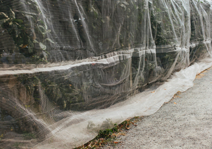 Protective mesh fabric covering apple trees bearing young fruit in summer in a commercial orchard. Pの写真素材 [FYI02266411]