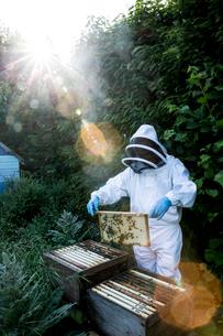 Beekeeper wearing protective suit at work, inspecting wooden beehive.の写真素材 [FYI02266429]