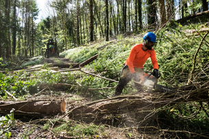 Man wearing bright orange top clearing part of forest. Cutting tree trunk with chain saw.の写真素材 [FYI02266457]