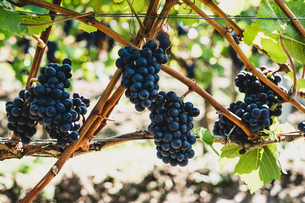 Close up of bunches of black grapes on a vine.の写真素材 [FYI02266465]