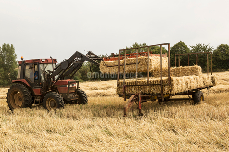 Tractor and straw baler in wheat field, farmer baling straw.の写真素材 [FYI02266471]