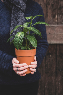 Close up of person holding small coffee plant in terracotta flower pot.の写真素材 [FYI02266511]