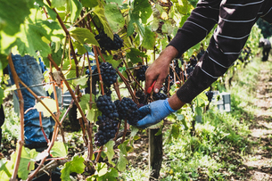 Man standing in a vineyard, harvesting bunches of black grapes.の写真素材 [FYI02266517]