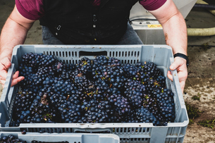 High angle close up of person holding grey plastic crate of freshly picked bunches of black grapes aの写真素材 [FYI02266534]