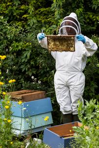 Beekeeper wearing protective suit at work, inspecting wooden beehive.の写真素材 [FYI02266535]