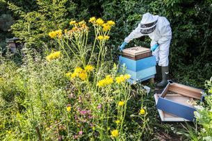 Beekeeper wearing protective suit at work, inspecting wooden beehive.の写真素材 [FYI02266536]