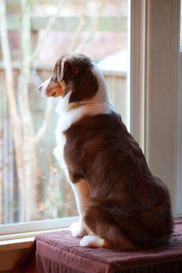Male Australian Shepherd standing in front of a window waiting for his owner to come home.の写真素材 [FYI02266538]