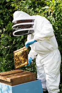 Beekeeper wearing protective suit at work, inspecting wooden beehive.の写真素材 [FYI02266630]