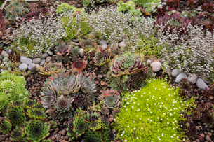 High angle view of flower bed with selection of succulent plants in a garden.の写真素材 [FYI02266641]