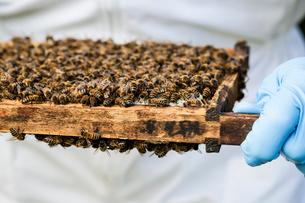 Beekeeper wearing protective suit at work, inspecting wooden beehive.の写真素材 [FYI02266654]
