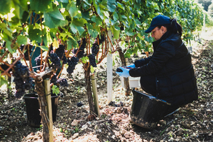 Woman kneeling in a vineyard, harvesting bunches of black grapes.の写真素材 [FYI02266669]
