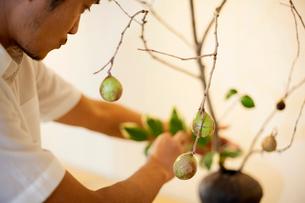 Japanese man working in a flower gallery, working on Ikebana arrangement.の写真素材 [FYI02266678]