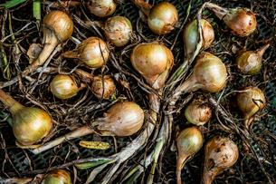Small onion shallot bulbs with green stalks.の写真素材 [FYI02266742]