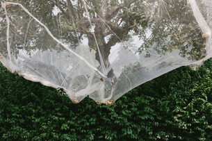 Protective mesh fabric covering apple trees bearing young fruit in summer in a commercial orchard. Pの写真素材 [FYI02266752]