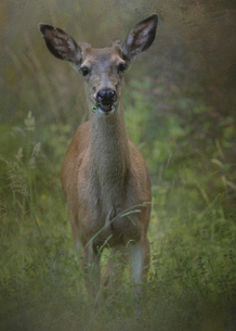 Composite portrait of a white tailed deer year old buck in a field looking up ears pricked.の写真素材 [FYI02266773]