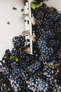 Close up of freshly picked bunches of black grapes at a vineyard.の写真素材 [FYI02266782]