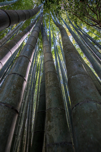 Low angle close up of tall bamboo plants, Bamboo forest, Japan.の写真素材 [FYI02266816]