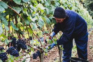 Woman bending over, with gloves and secateurs, in a vineyard harvesting bunches of black grapes.の写真素材 [FYI02266825]