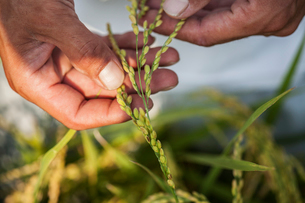 High angle close up of farmer holding rice plant in his palm.の写真素材 [FYI02266839]
