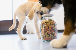 Dogs sniffing jar with biscuitsの写真素材 [FYI02270450]