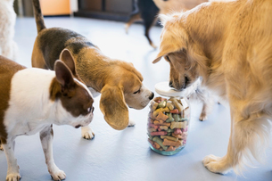 Dogs sniffing jar with biscuitsの写真素材 [FYI02270496]