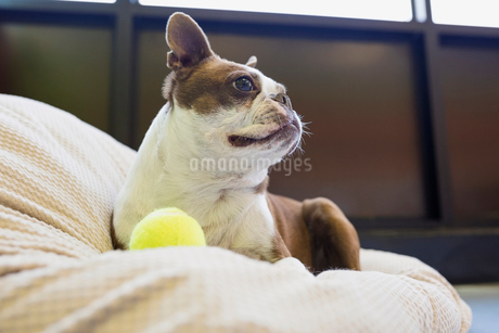 Boston Terrier with tennis ball looking awayの写真素材 [FYI02270602]