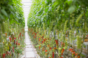 Tomato plants growing in a row in greenhouseの写真素材 [FYI02271139]