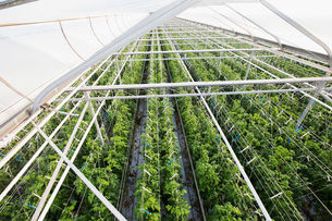 Plants growing in a row in greenhouseの写真素材 [FYI02271145]