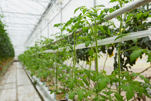 Tomato saplings growing in a row in greenhouseの写真素材 [FYI02271154]