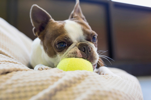 Boston Terrier chewing tennis ballの写真素材 [FYI02271777]
