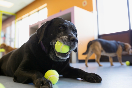 Black Labrador Retriever chewing tennis ballの写真素材 [FYI02272672]