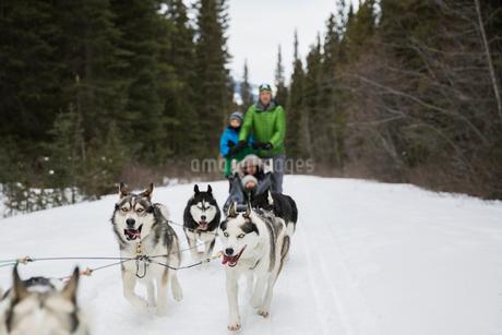 Family dogsledding in snowの写真素材 [FYI02273496]
