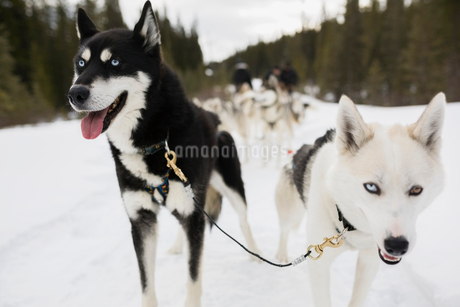 Close up of lead dogsled dogsの写真素材 [FYI02274599]