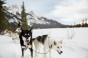 Lead dogs of dogsled in snowy fieldの写真素材 [FYI02274907]