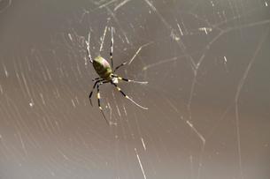 獲物を待つジョロウグモの写真素材 [FYI02278164]