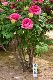 弥彦牡丹園の牡丹の花の写真素材 [FYI02278188]