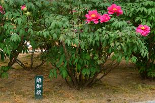 弥彦牡丹園の牡丹の花の写真素材 [FYI02278200]