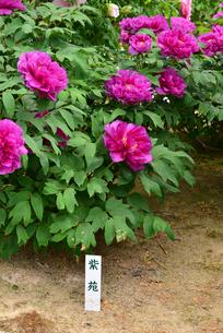 弥彦牡丹園の牡丹の花の写真素材 [FYI02278253]