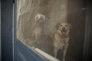 Dogs waiting at screen doorの写真素材 [FYI02279329]