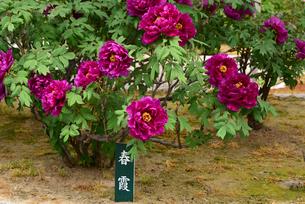 弥彦牡丹園の牡丹の花の写真素材 [FYI02280369]