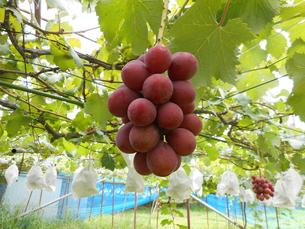 果樹園のぶどうの写真素材 [FYI02280464]