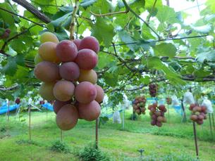 果樹園のぶどうの写真素材 [FYI02280624]