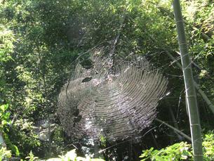 竹林とクモの巣の写真素材 [FYI02280672]