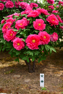 弥彦牡丹園の牡丹の花の写真素材 [FYI02280673]