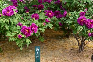 弥彦牡丹園の牡丹の花の写真素材 [FYI02280697]
