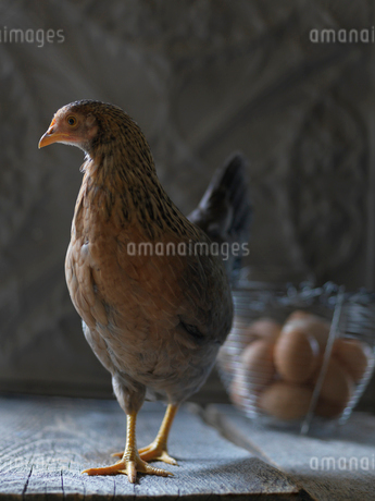 Chicken near basket of fresh eggsの写真素材 [FYI02283742]