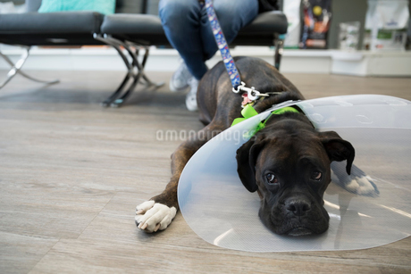 Dog with cone laying in veterinarian clinic lobbyの写真素材 [FYI02284194]