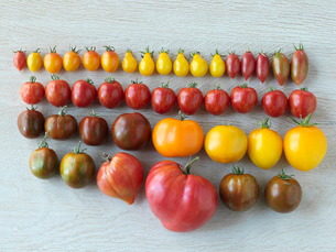 Variety of multicolor organic heirloom tomatoes in a rowの写真素材 [FYI02284564]